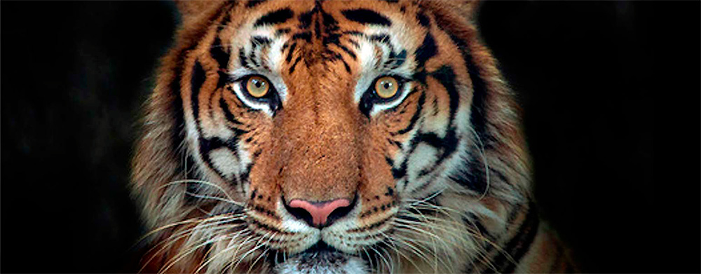 photo-oeil-de-tigre